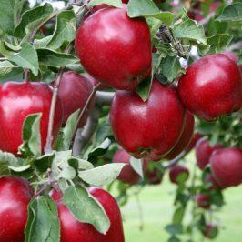 هایپر نهال   نهال سیب رد دلیشز