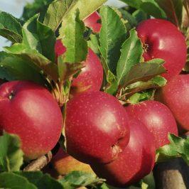 هایپر نهال | نهال سیب استارکینگ فرانسه