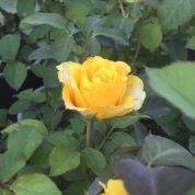 هایپر تره بار   عکس ارسالی- رز هلندی زرد