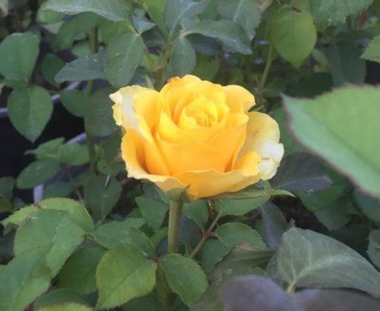 هایپر نهال | عکس ارسالی- رز هلندی زرد
