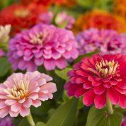 هایپر تره بار | گل آهار