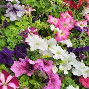 هایپر تره بار   گل اطلسی