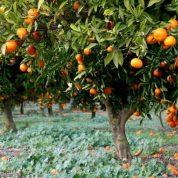هایپر نهال | نهال پرتقال والنسیا